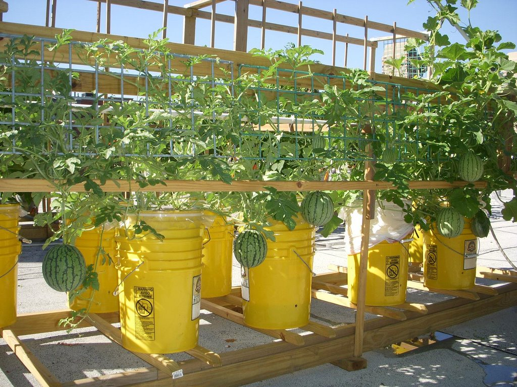 supports for 5 gal bucket tomatoes tomatoville gardening forums - 5 Gallon Bucket Garden